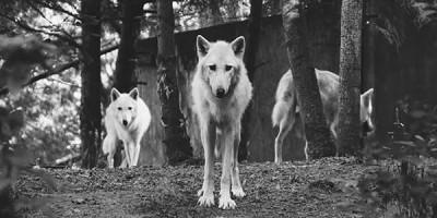Волки стая