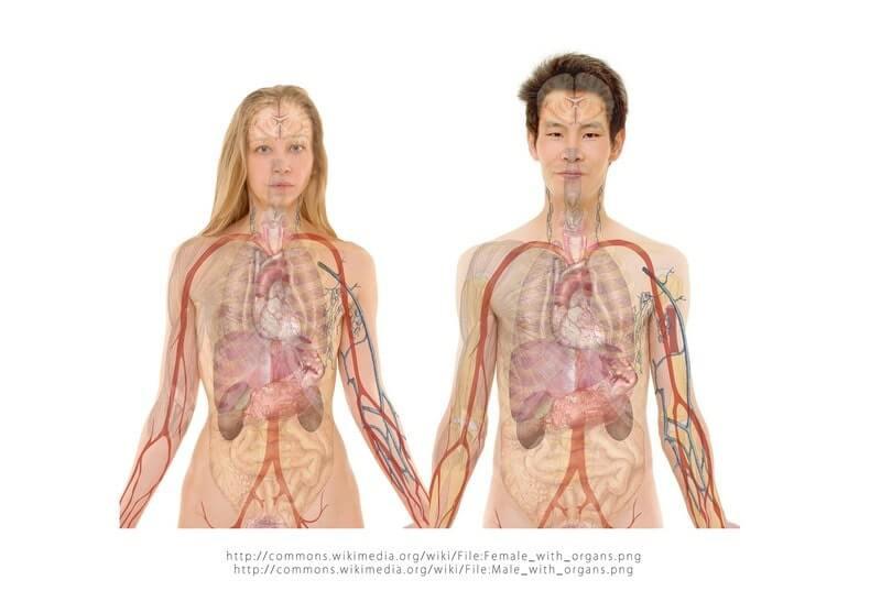 Мужчина женщина анатомия